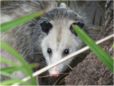 Habitat - The Opossum Page